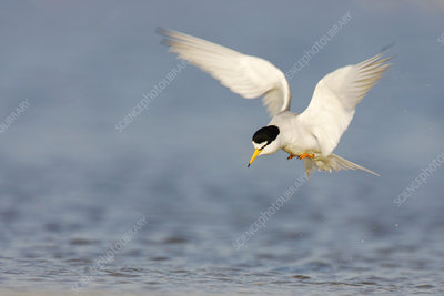 Least tern hunting for fish