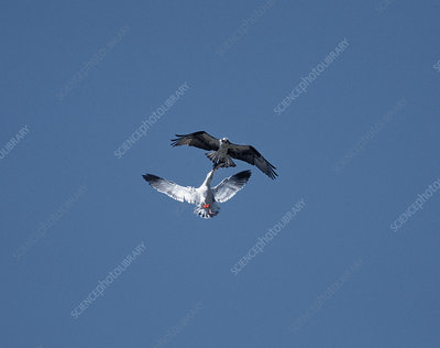 Western Gull and Osprey