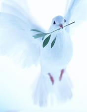 White dove carrying olive branch