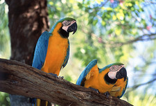 Blue and yellow macaws, Ara ararauna, on a branch