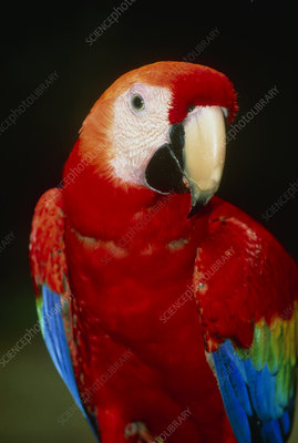 View of a scarlet macaw (Ara macao)