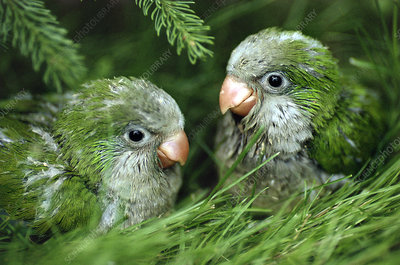 Monk parakeet chicks