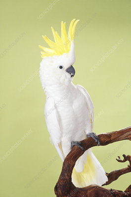 Medium Sulphur-crested Cockatoo