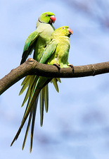Ringnecked parakeets mating