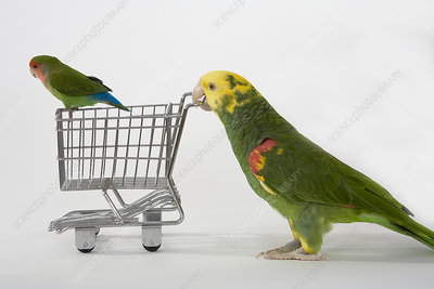 Double-yellow Headed Amazon and Lovebird
