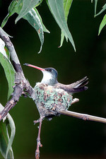 Violet-crowned Hummingbird at Nest