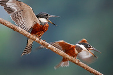 Ringed kingfisher couple