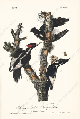 Ivory-billed woodpeckers, artwork