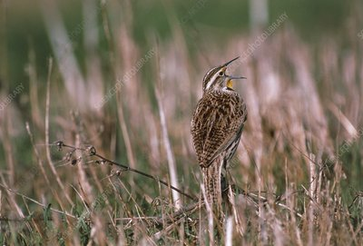Western meadowlark (Sturnella neglecta) singing