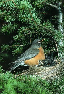 American robin (Turdus migratorius) with chicks