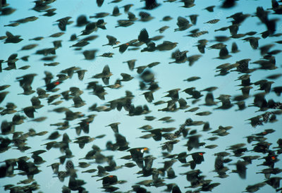 Flock of mixed blackbirds