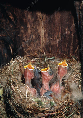 Tufted titmouse hatchlings