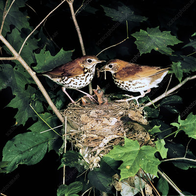 Wood Thrushes feeding young