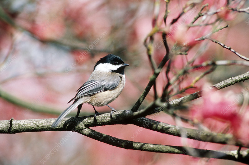 capped chickadee scientific Product features buffalo games audubon black-capped chickadee bird 513 piece jigsaw puzzle.