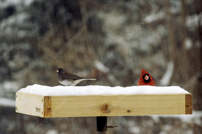 Songbirds on bird table