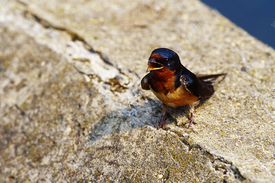 Barn Swallow chick