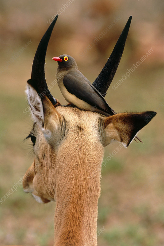 oxpecker and antelope symbiotic relationship