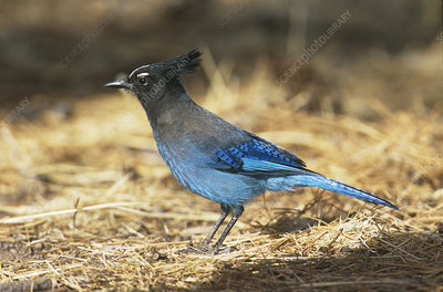 Steller's Jay foraging in pine litter