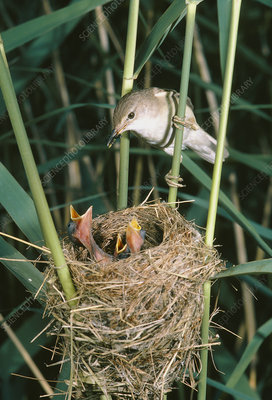 Reed warbler feeding young