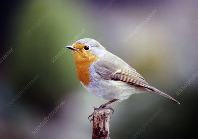 European Robin red breast