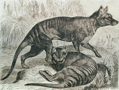 Engraving of the Tasmanian wolf