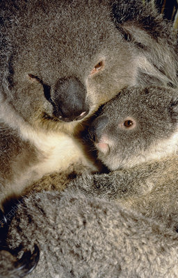 Koala mother and young