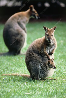 Red-necked wallabies