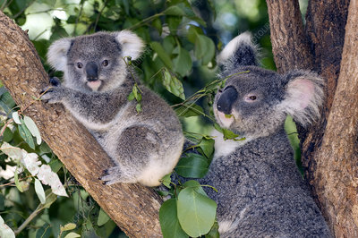 Mother koala and young