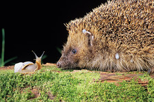 Hedgehog with a snail