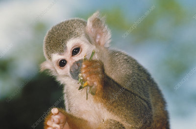 Squirrel monkey biting Katydid