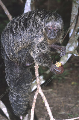 Hairy Saki monkey eating a palm fruit