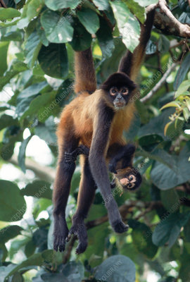 Red spider monkey