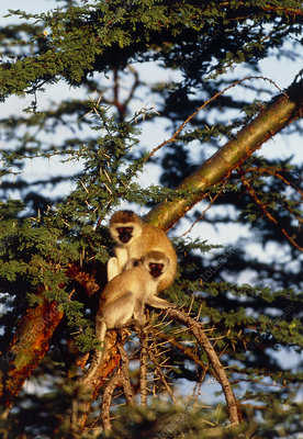 Vervet monkeys (Cercopithecus aethiops) in a tree