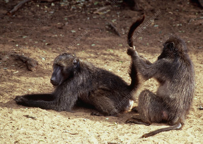 Baboons grooming