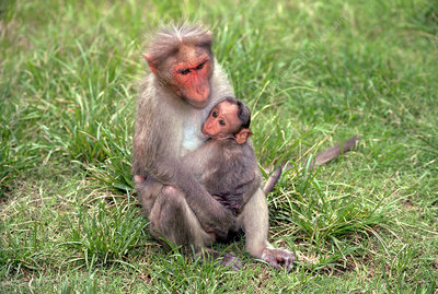 Bonnet Macaque with baby