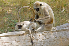 Langur monkeys grooming