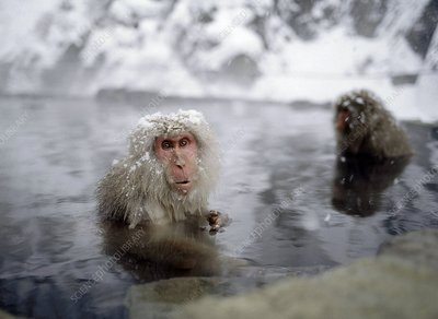Macaques in a Hot Spring