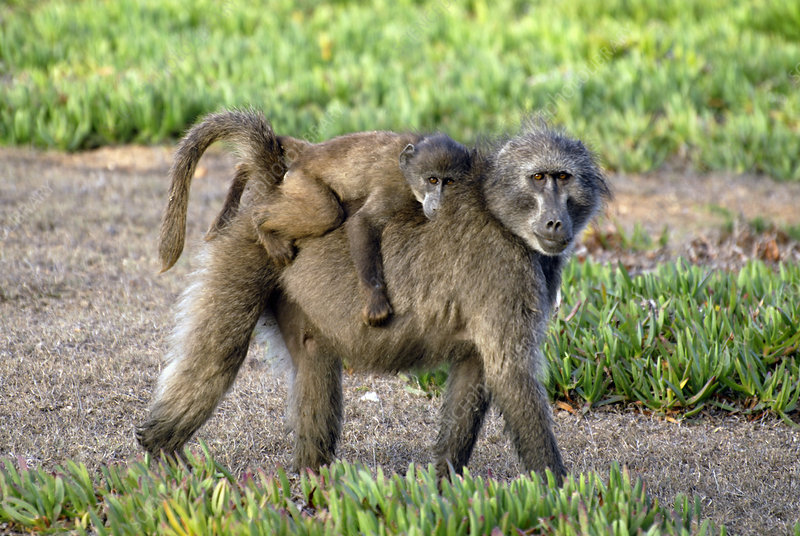 Chacma baboon mother and young