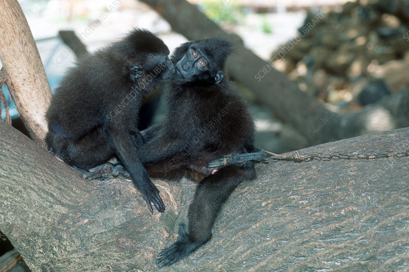 Captive crested black macaques