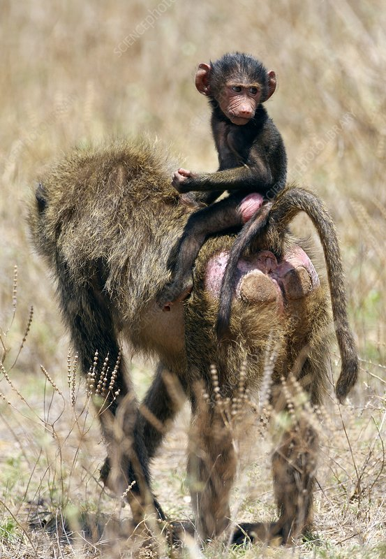 Olive baboon infant and mother