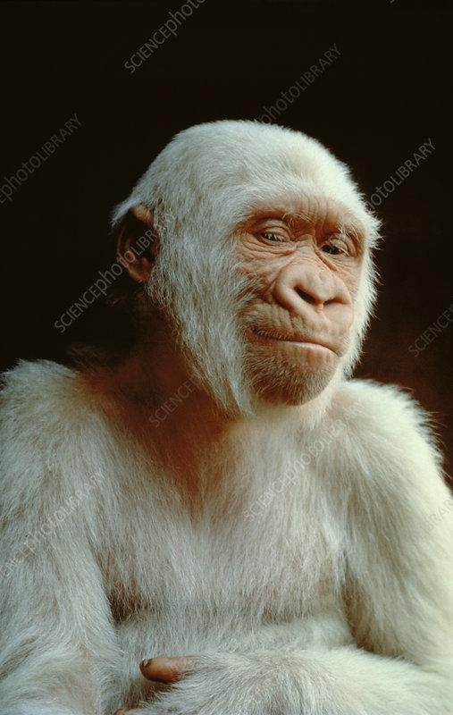 Albino lowland gorilla