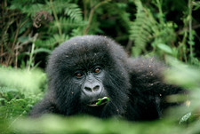 Mountain gorilla infant
