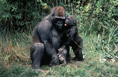 Lowland gorilla and young