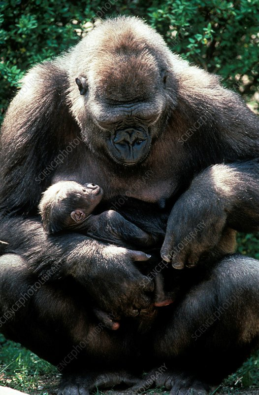 Lowland gorilla holding a young