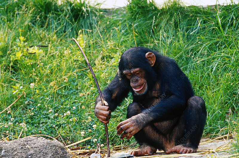 Chimpanzee using stick as tool