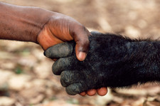 Gorilla and human hand