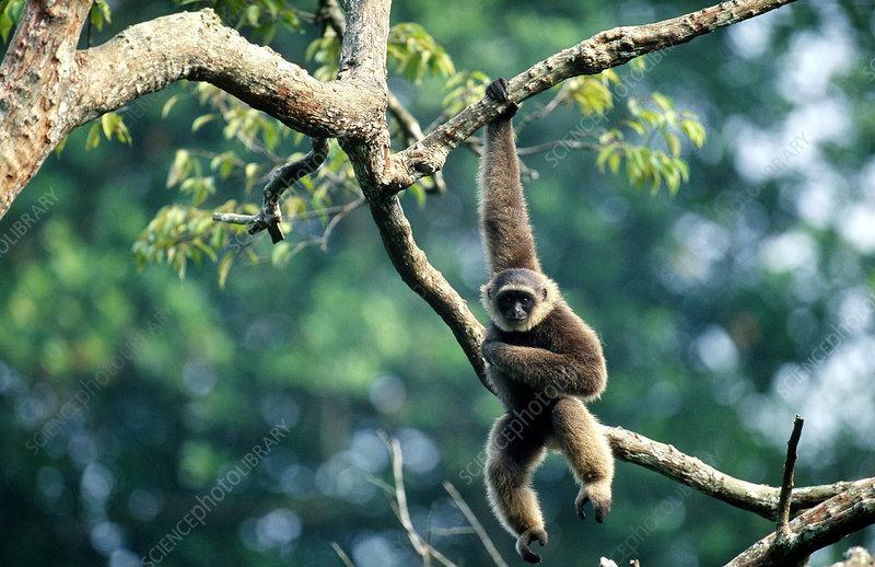 Common Gibbon (Hylobates lar)