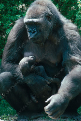 Gorilla Mother and Young