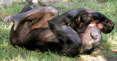 Bonobo (Pan paniscus) mother and infant