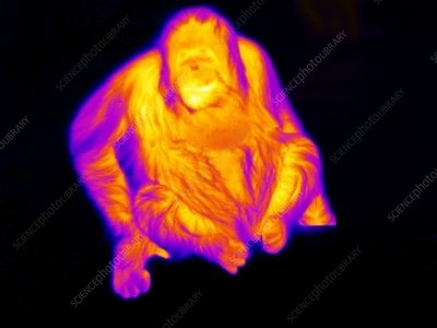 Orangutan, thermogram